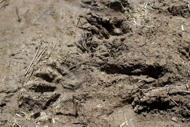 Western Grey Kangaroo tracks at dam's edge.