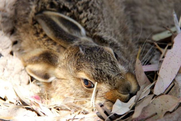 A young European Hare (Lepus europeaus) crouches in its 'form' in the creek bed, before leaping up and running like hell.