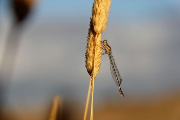 A damselfly warms in the morning sun by the dam (27/1/13).