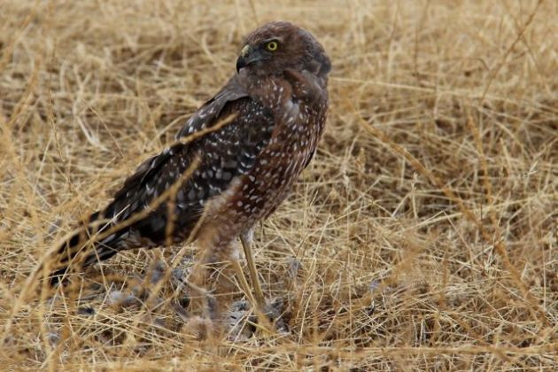A Spotted Harrier (Circus assimilis) guards a freshly killed quail (27/1/13).