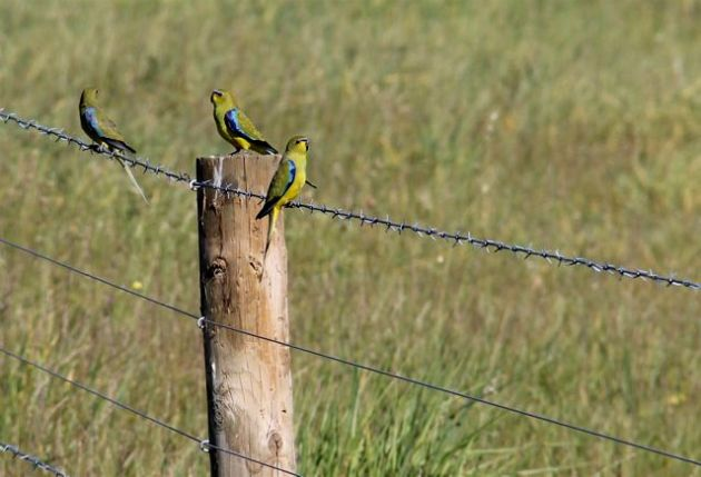 Elegant parrots rest on a fence (9/10/14).