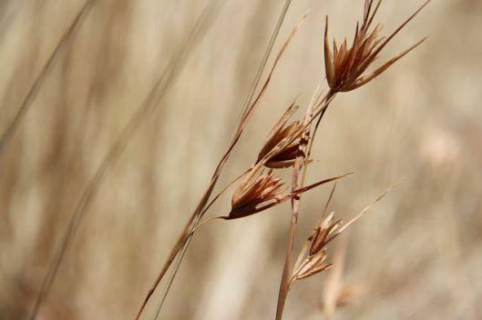 Native Kangaroo grass (Themeda triandra) thriving amongst native Wallaby grasses.