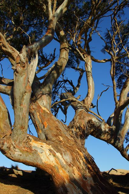 The big red gum