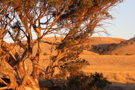 Golden afternoon light on the big red gum and the hills beyond