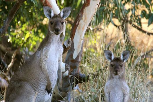 Kangaroos seek shelter from the morning heat
