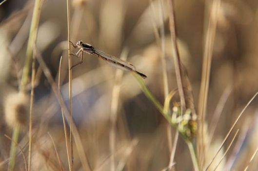 A damselfly suns itself