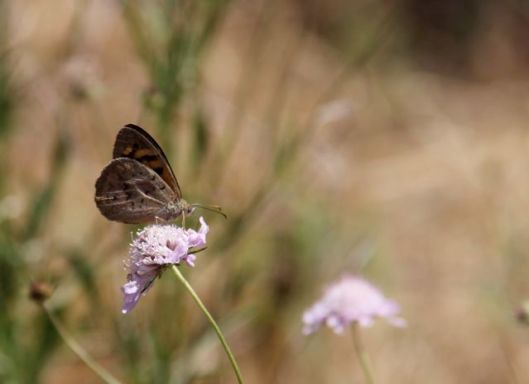CommonBrown