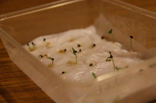 The take-away container propagation method. Place cleaned seed on a damp cloth, replace lid, and leave in a warm place.