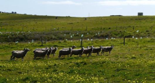 The new flock of Wiltshire Horns, watched from afar by the alpacas.