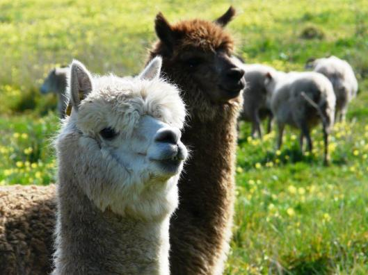 The two alpacas, aka. 2Pac.