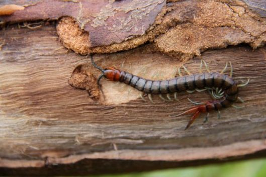 Centipedes can be found in the moist darkness beneath every rock and log.