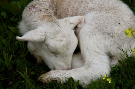 The new lamb takes a kip in the grass.