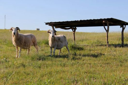 The moveable sheep shelter in fresh pasture.