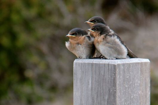 Young welcome swallows huddle together at Seal Bay, Kangaroo Island (October 2014).