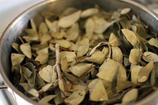 E Cinerea leaves before boiling