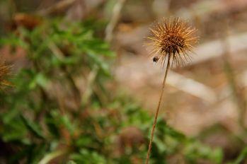 Bidgee-widgee seed heads (Acaena nova-zelandiae)